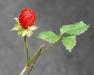 Indian Mock-Strawberry