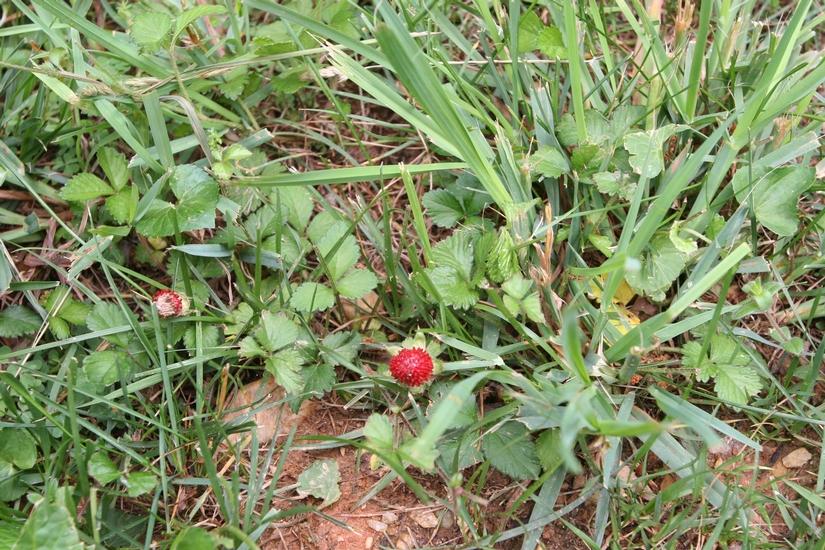 Indian Mock-Strawberry