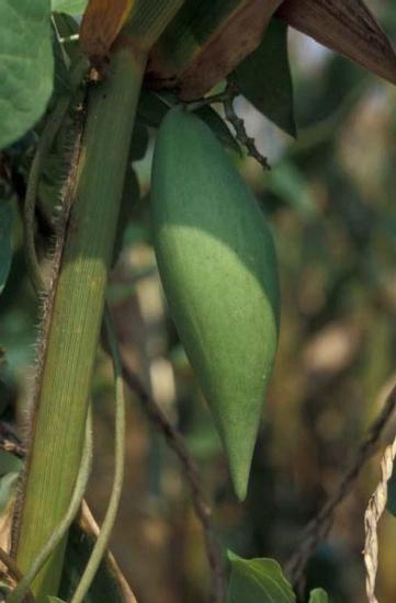 Honeyvine Milkweed