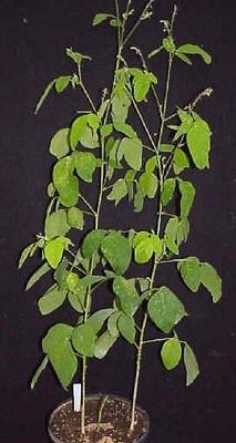Florida Beggarweed