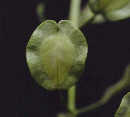 Field Pepperweed