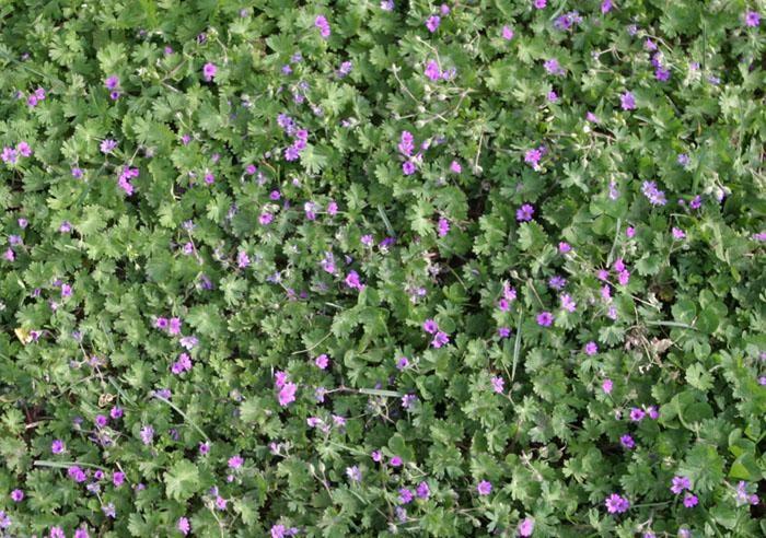 Cutleaf Geranium