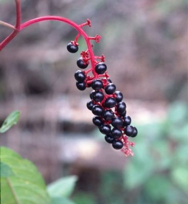 Common Pokeweed