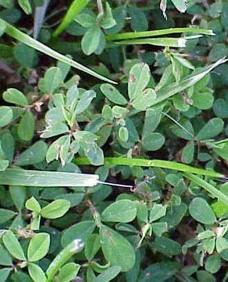 Common Lespedeza