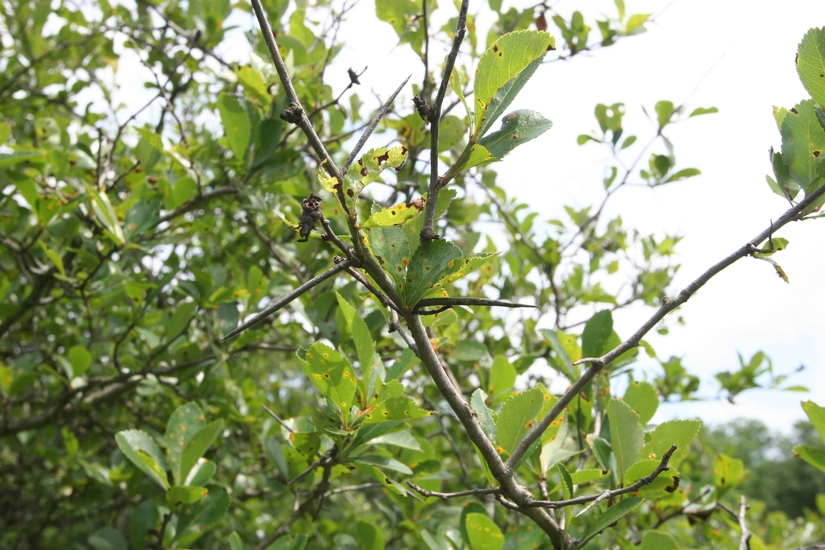 Cockspur Thorn