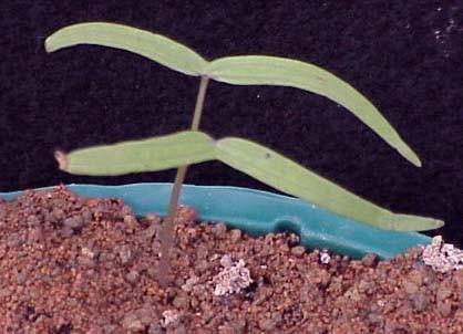 Cypressvine Morningglory