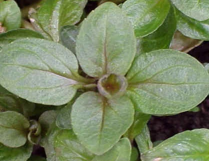 American Speedwell