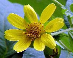 Yellow-flowered Leaf-cup