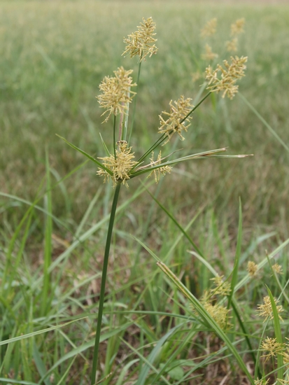 Yellow Nutsedge