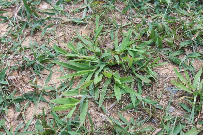 Smooth Crabgrass