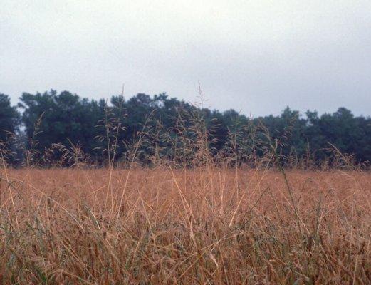 Roughstalk Bluegrass
