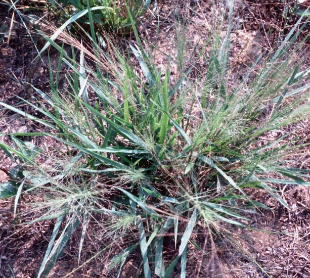 Purple Lovegrass