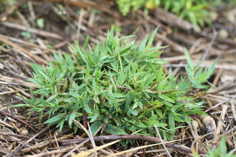 Lindheimer's Panic-grass
