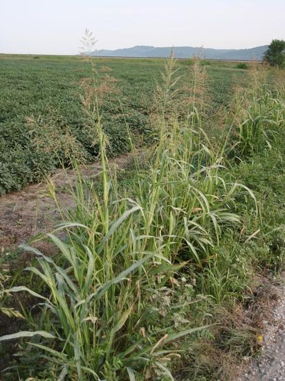 Johnsongrass