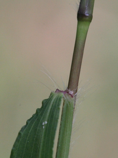 Japanese Stiltgrass