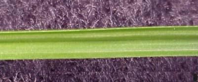Green Kyllinga