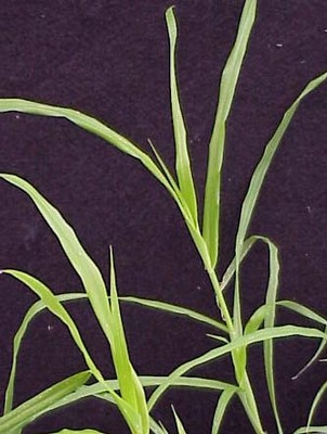 Crowfootgrass