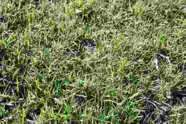 Creeping Bentgrass