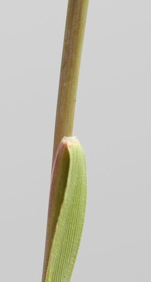 Carolina Foxtail