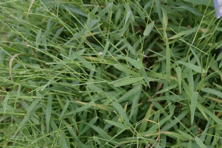 Broadleaf Signalgrass