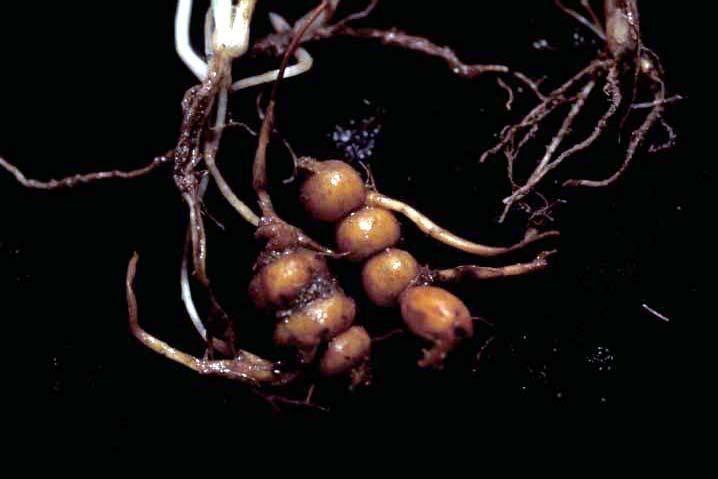 Bulbous Oatgrass
