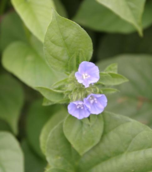 Smallflower Morningglory