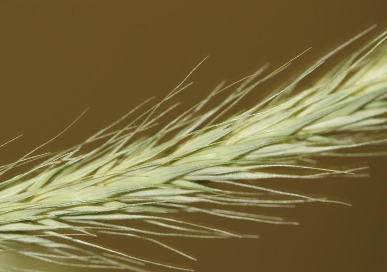 Little Barley