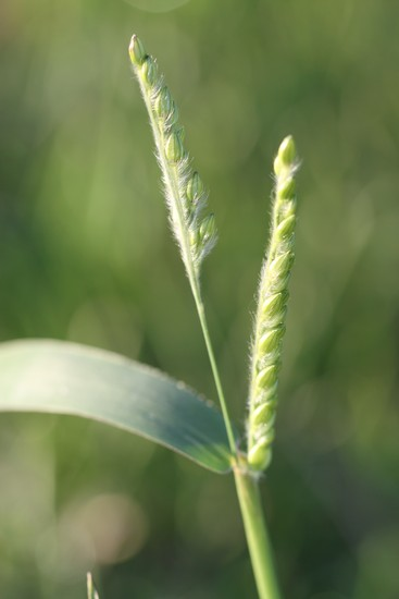 Woolly Cupgrass