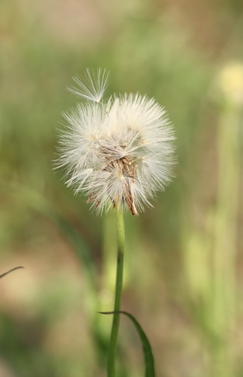 Carolina False Dandelion