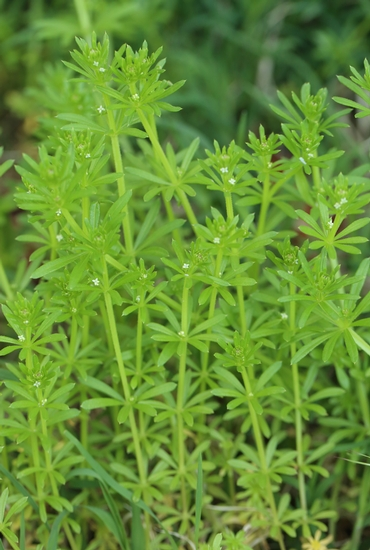 Catchweed Bedstraw