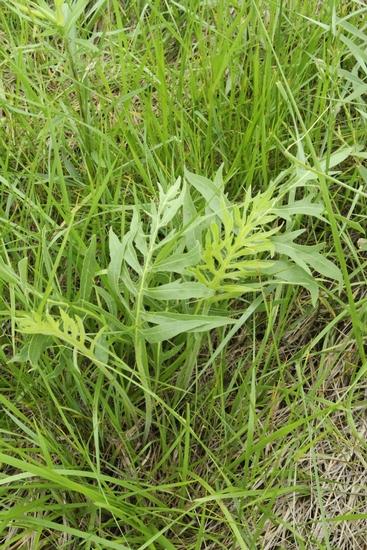 Compass Plant