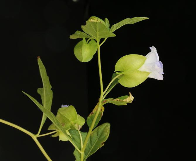 Apple-of-Peru
