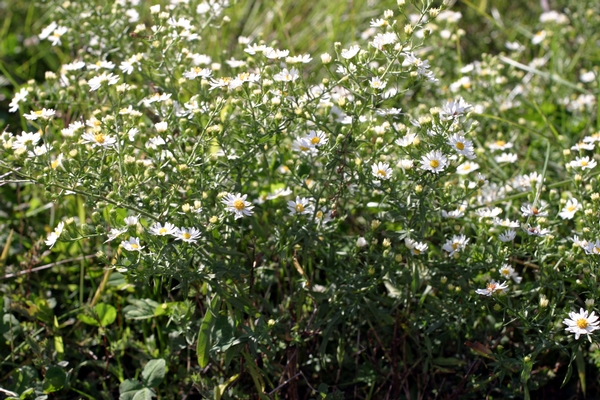 White Heath Aster