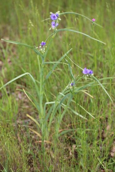 Ohio Spiderwort