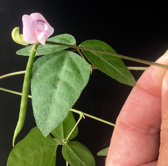 Missouri Fuzzy Bean