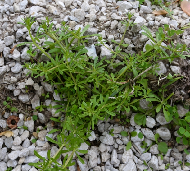 Smooth Bedstraw