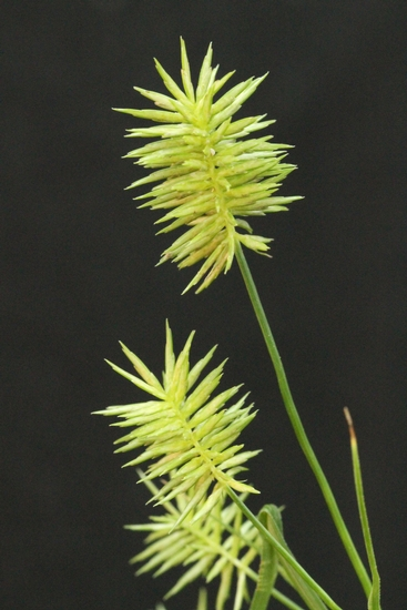Straw-colored Flatsedge