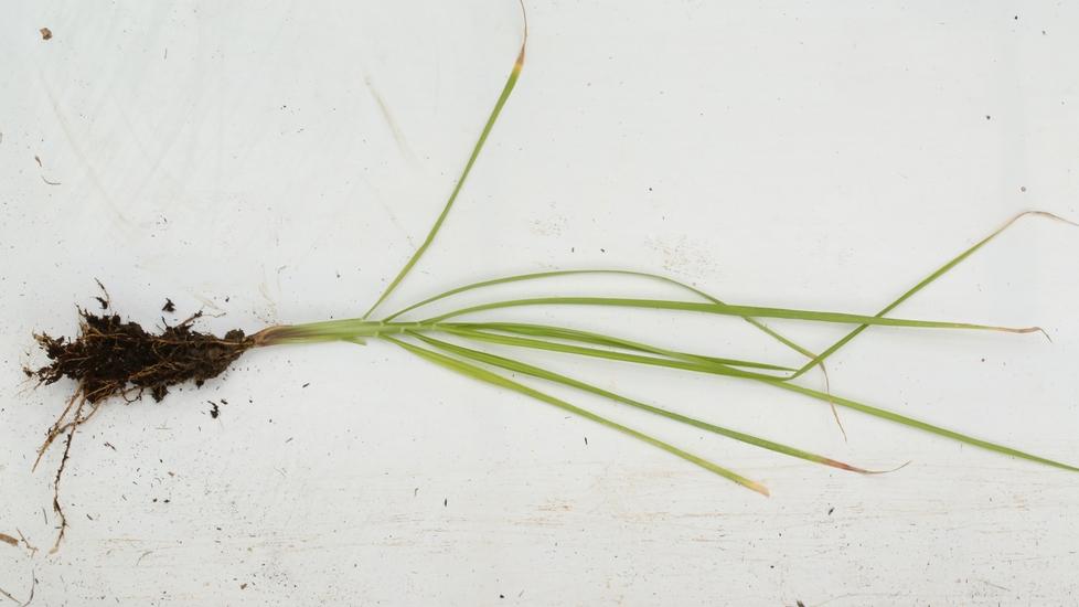 Chinese Fountain Grass