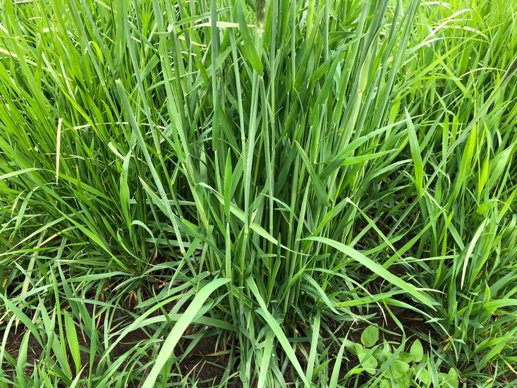 Meadow Foxtail