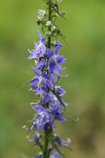 American Bellflower