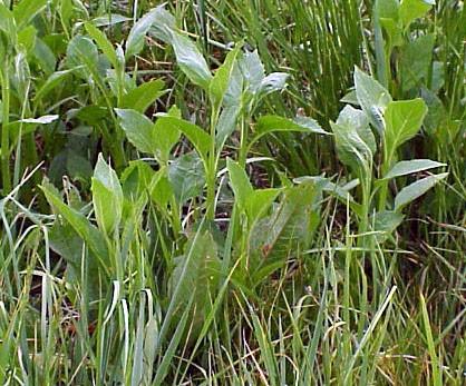 Stickweed