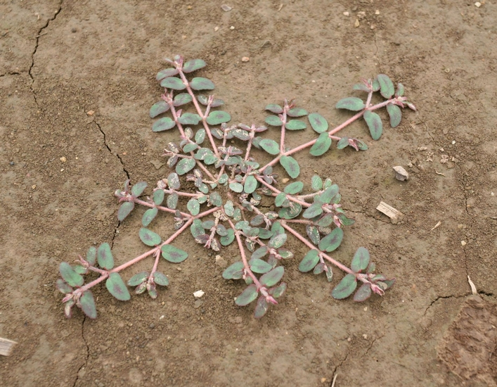 Spotted Spurge