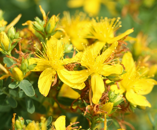 Spotted St. Johnswort