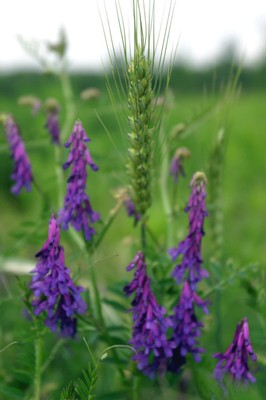 Smooth Vetch