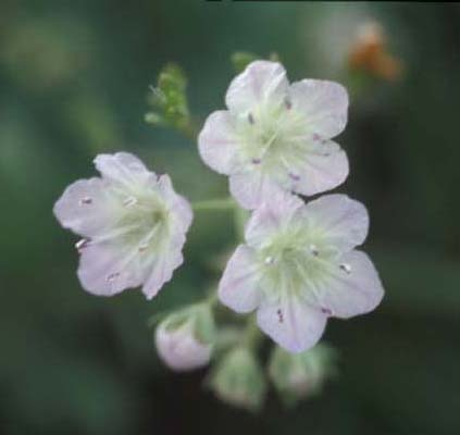 Smallflowered Phacelia