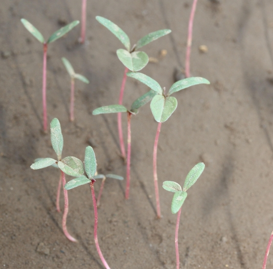 Redroot Pigweed