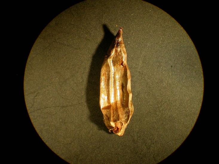Common Cocklebur