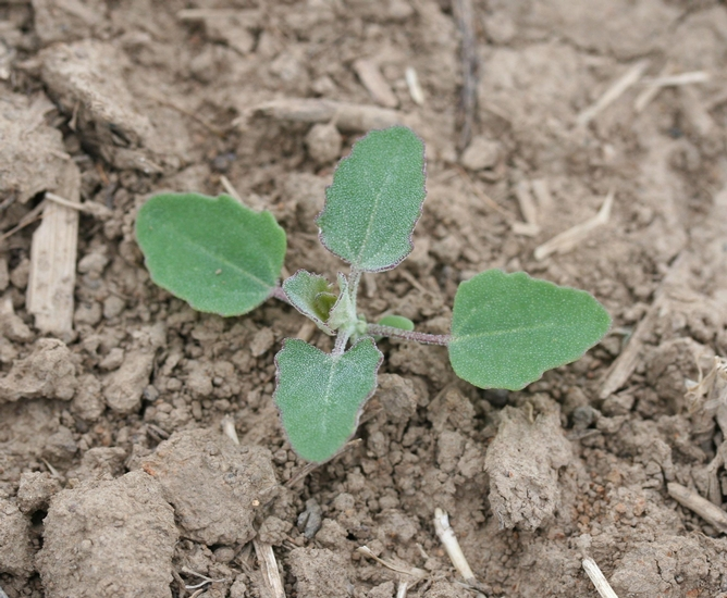 Common Lambsquarters