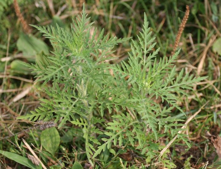 Common Ragweed