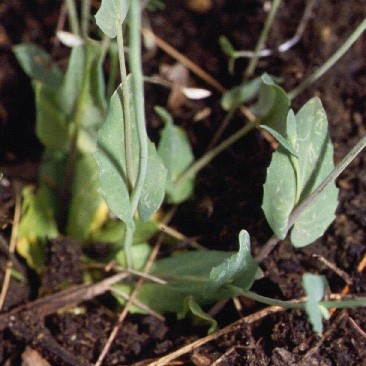 Perfoliate Pennycress